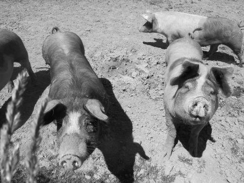 Cochons élevés en plein air. ©Marie-Eve Merckx / Agence Alter