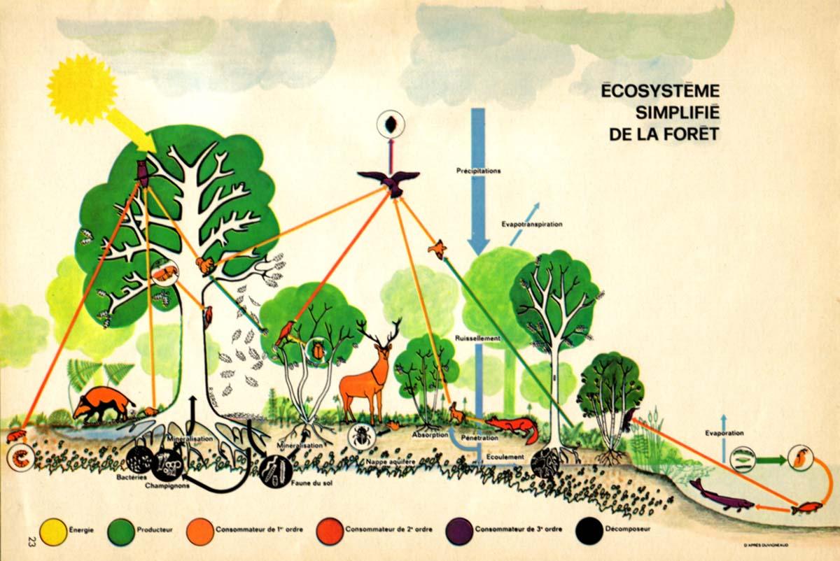 SCHEMA_Ecosysteme-simplifie-de-la-foret